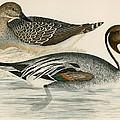 Pintail Duck by Beverley R. Morris