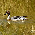 Pintail Duck by Vivian Christopher