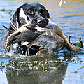 Pintail Retrieve by Mike Gnatkowski