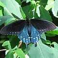 Pipevine Swallowtail by Eric Noa