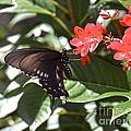 Pipevine Swallowtail IIi by Carol  Bradley