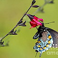 Pipevine Swallowtail by Marty Fancy