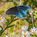 Pipevine Swallowtail On Asters by John Haldane