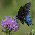Pipevine Swallowtail Visiting Field Thistle Din158 by Gerry Gantt