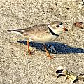 Piping Plover by Constantine Gregory