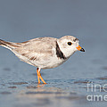 Piping Plover I by Clarence Holmes