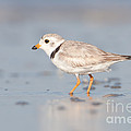 Piping Plover II by Clarence Holmes