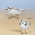 Piping Plovers by Ezartesa