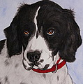 Pippy The Springer Spaniel by Megan Cohen