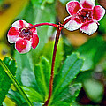 Pipsissewa On Trail To Swan Lake In Grand Teton National Park-wyoming by Ruth Hager