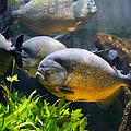 Piranha by TN Fairey
