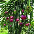 Pitaya Fruit Trees by Jeelan Clark