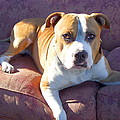 Pitbull On A Couch by Ritmo Boxer Designs