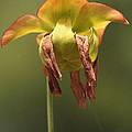 Pitcher Plant Flower by Liz Leyden
