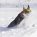 Pitt Bull Snow Plow by Thomas Young