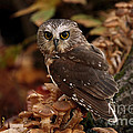 Pixie Saw Whet Owl Watching You by Inspired Nature Photography Fine Art Photography