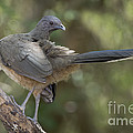 Plain Chachalaca by Anthony Mercieca
