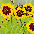Plains Coreopsis by Walter Herrit