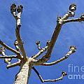 Plane Tree by Bernard Jaubert