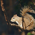 Plans - Gray Squirrel by rd Erickson