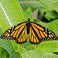 Plant Milkweed And Save The Monarch Butterfly by Barbara McMahon