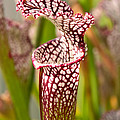 Plant - Pretty As A Pitcher Plant by Mike Savad