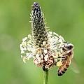 Plantain Pollen by Lucinda VanVleck