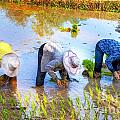 Planting Rice by Roberta Bragan