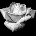 Platinum Rose Flower by Jennie Marie Schell