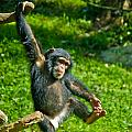 Playful Chimp by Jonny D