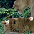 Playful Cubs by Donna Cavanaugh
