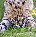 Playful Serval by Athena Mckinzie