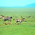 Playfull Zebras by Sebastian Musial