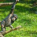 Playing Chimp by Jonny D