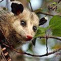 Playing Possum by Nikolyn McDonald