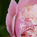 Pleasantly Pink  by Lindley Johnson
