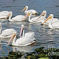 Plenty Of Pelicans by Carol Groenen