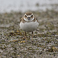 Plover by Sandy Swanson
