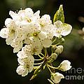 Plum Blossom by Brigitte Mueller