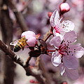 Plum Blossoms 12 by Kume Bryant
