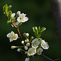 Plum Blossoms by Mick Anderson