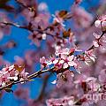 Plum Flowers And Honey Bee by Mark Dodd