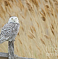 Plum Island Snowy Owl On A Fence Post by John Vose