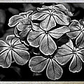 Plumbago In Gray by Judy Vincent