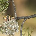 Plumbeous Vireo Begging Arizona by Tom Vezo