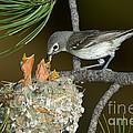 Plumbeous Vireo Feeding Chicks In Nest by Anthony Mercieca