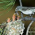 Plumbeous Vireo Feeding Worm To Chicks by Anthony Mercieca