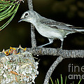 Plumbeous Vireo With Four Chicks In Nest by Anthony Mercieca