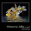 Plumeria Alba by Kaye Menner