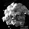 Plumeria Black White by Andrea Anderegg
